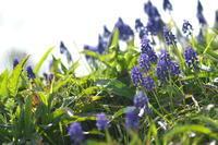 紫系の花ムスカリ他 - 身近な自然を撮る