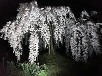 神山の夜桜 - マダムサフランのおしゃべりブログ