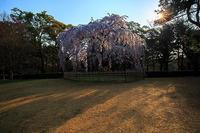 桜 2018!  ~御所 出水の桜~ - Prado Photography!