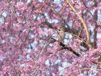 桜絡みで - 季節の映ろひ