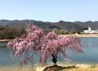 桜さくら - Lazygardener