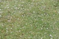 落花の吹雪 Petal Storm - my gallery-2