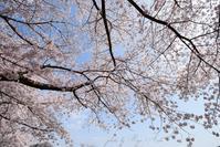 貯水池の桜 - Ryu Aida's Photo