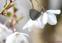 スギタニルリシジミと早春のチョウたち - 旅のかほり