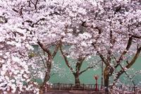 初sakura - 虹のむこうには何が見える?