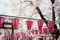 土佐稲荷神社の桜(カラーネガの自家現像) - mglss studio photography blog