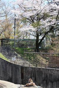 4月3日(火)桜記念日 - ほのぼの動物写真日記