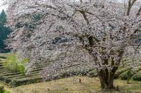 桜巡り@飯能市 - デジカメ写真集
