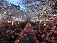 美し過ぎる、東京1の中目黒の桜 - イタリアワインのこころ