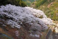 広川ダムの桜 - ウミネエブログ