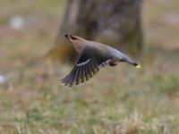 ぶっ飛びキレンジャク - 『彩の国ピンボケ野鳥写真館』