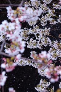 桜も、生きてる状況で、見え方がかわる。 - zeruoな日々
