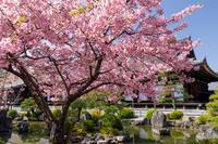 桜咲く京都2018三十三間堂の春景色 - 花景色-K.W.C. PhotoBlog