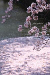 小田原城の桜♪ - 1日1ん!