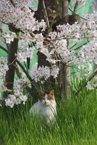 桜 - のらねこ。  (野良にゃん写真集)