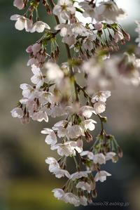 桜咲く - デジタルで見ていた風景