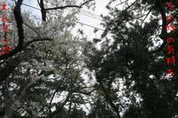 松&桜 - doppler