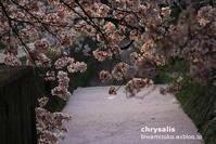 白川疏水 - chrysalis