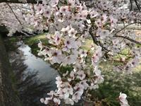 4月初六甲&桜三昧ポタ - 宝塚マドン