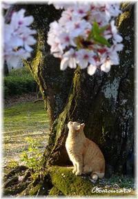 さくら 朝散歩 4.3 ②  ちゃとらちゃん - 日々楽しく ♪mon bonheur