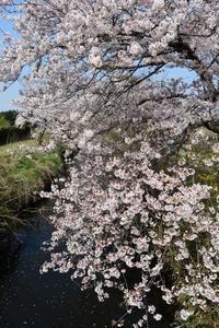 さくら咲く - pottering