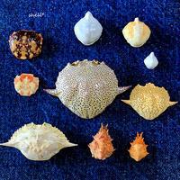 蟹甲羅コレクション - 貝がらはうす