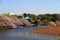 上野恩賜公園不忍池の桜 - お散歩写真     O-edo line