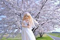 セシリーさんの魅力・・・その四拾八 (昼の桜と夜の桜) - 屋根裏部屋の休日