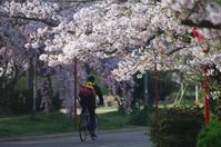 今朝の桜⑦ - グル的日乗
