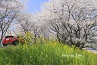 2018 さくら巡り-大島堤- - さんたの富士山と癒しの射心館