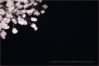 京都の桜 八坂神社と円山公園らへん - あ お そ ら 写 真 社