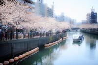 桜~大岡川~ - 気の向くままに…