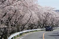 2018年4月1日 瀬戸川河川敷の桜 - おphotoで遊ぼ!