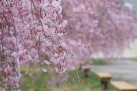 徳山のしだれ桜・3 - 暮らしの中で