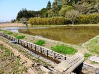 ハスの新芽 - 千葉県いすみ環境と文化のさとセンター