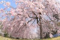 栃木市 満開の桜を独り占め in 西方ふれあいパーク - 日々の贈り物(私の宇都宮生活)