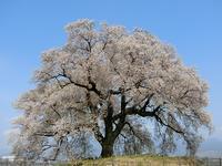 わに塚の桜満開! - 風路のこぶちさわ日記