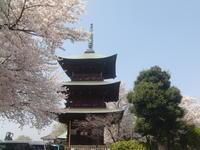 桜シリーズ3・草加の隣町、安行の桜 - 活花生活(2)
