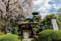 高蔵寺の桜と西洋石楠花 - あだっちゃんの花鳥風月