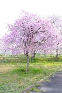ピンクが綺麗な枝垂桜 - 平凡な日々の中で