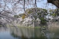 彦根城桜その1 - 尾張名所図会を巡る