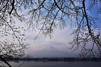 長崎公園の桜 - 風とこだま