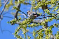 柳と桜ヒレンジャク - 鳥さんと遊ぼう