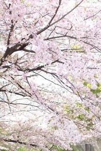 散りゆく桜の美しさに包まれて - フレンチシックな家作り。Le petit chateau