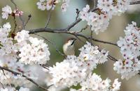 満開の桜にニュウナイスズメ② - azure 自然散策 ~自然・季節・野鳥~