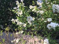 我が家の庭から 春の花たち① - ワタシ流 暮らし方   ☆アトリエきらら一級建築士事務所☆