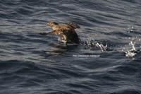 北方領土の名を背負い…アイツは今日も海の上で跳ねていたw - Olive Drab