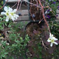 ジューンベリー白花 - kukka  kukka