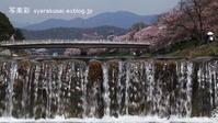 高野川で桜3 - 写楽彩