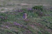 コミミズク紫色に囲まれて - 気まぐれ野鳥写真